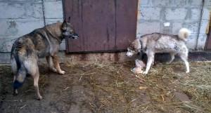 Волк с Аляской скалятся (1)